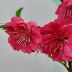 "Сакура (prunus persica) ""Red Peachy"" ВКС 1,5-1,7 м"