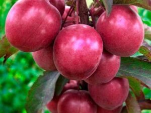 "Слива (Prunus cerasifera) ""Hollywood"" С20"