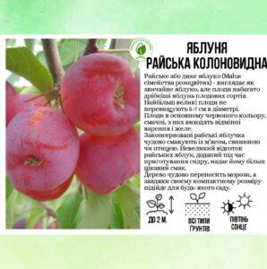 Яблуня райська колоновидна