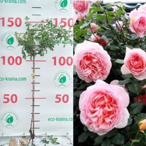 """Троянда штамбова """"Abraham Darbi"""""""