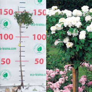 Троянда штамбова Біла махрова
