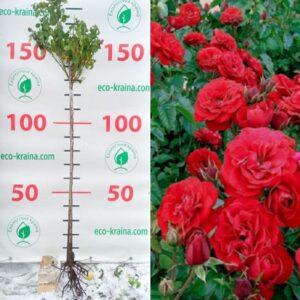 """Троянда штамбова """"Cordula"""""""