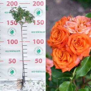 """Троянда штамбова """"Orange Baby"""""""