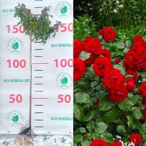 """Троянда штамбова """"Satchmo"""""""