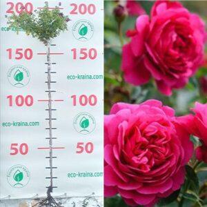 """Троянда штамбова """"Sir John Betjeman"""""""