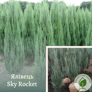 "Ялівець ""Sky Rocket"" 1,5-1,6 м"