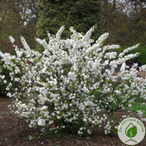 "Вишня (Prunus glandulosa) ""Alba Plena"" с7,с10"