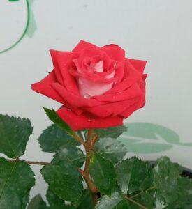 """Троянда """"Ruby Star"""" с7"""