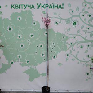 """Мигдаль """"Louiseania"""" с7"""