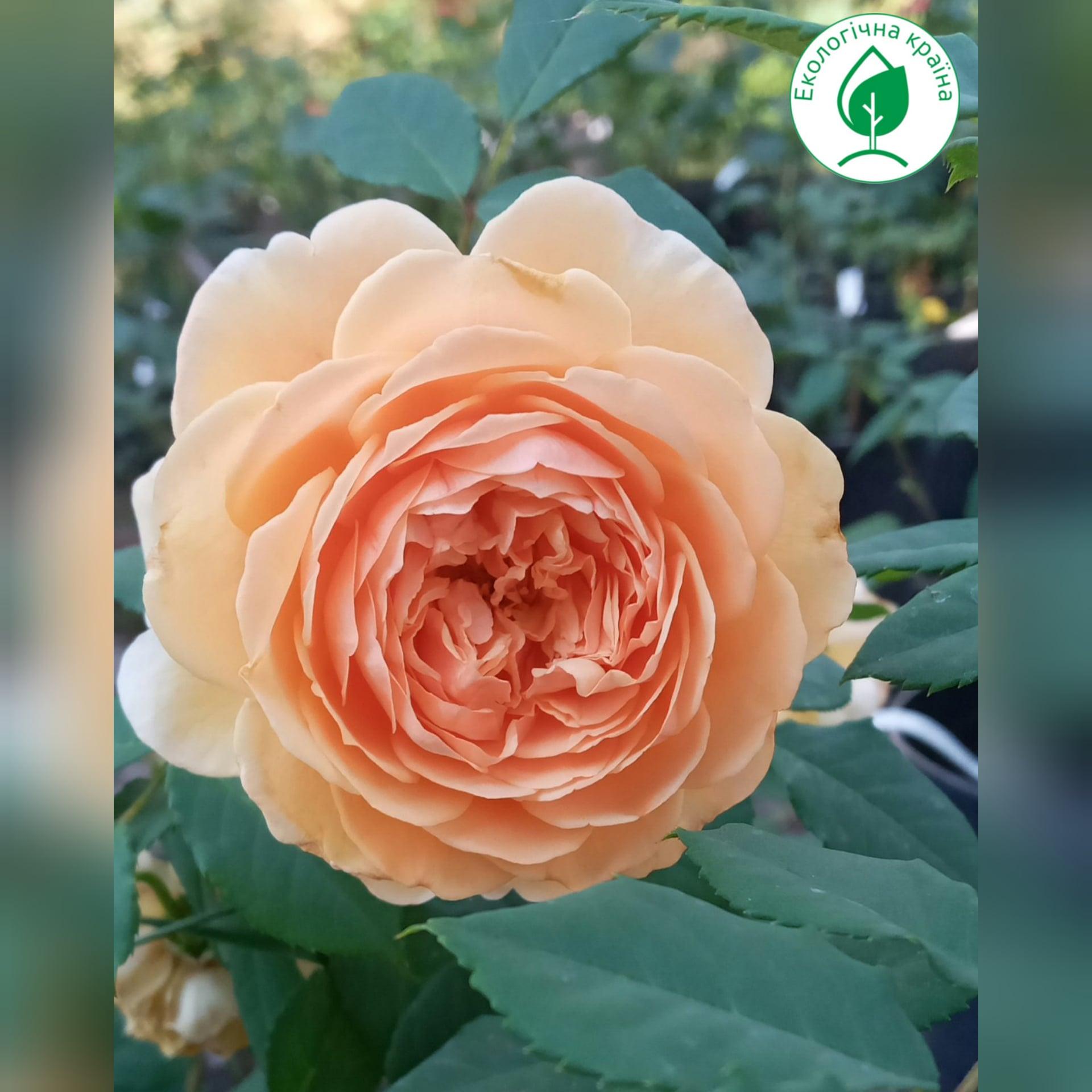 "Троянда ""Барокко"" c7"