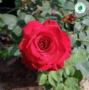 "Троянда ""Edith Piaf"" с7"