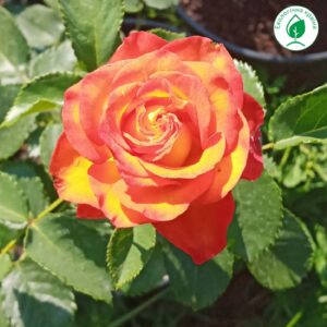 """Троянда """"High Society"""" с7"""
