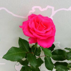 """Троянда """"Hot Lady"""" с7"""