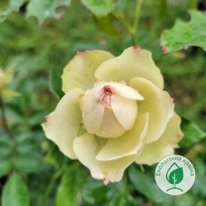 """Троянда """"Lovely Green"""" с7"""
