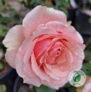 """Троянда """"Lenny"""" с7"""