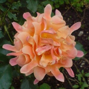 """Троянда """"Ruffles Dream"""" с7"""