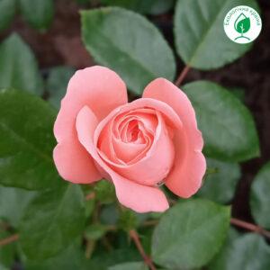 """Троянда """"Rosalind"""" с7"""