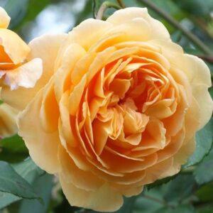 "Троянда ""Crown Princess Margareta"" c7"
