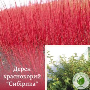 """Дерен червонокорий """"Сибірика"""" с3"""