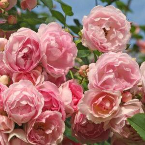 """Троянда """"Jasmina"""" с7"""