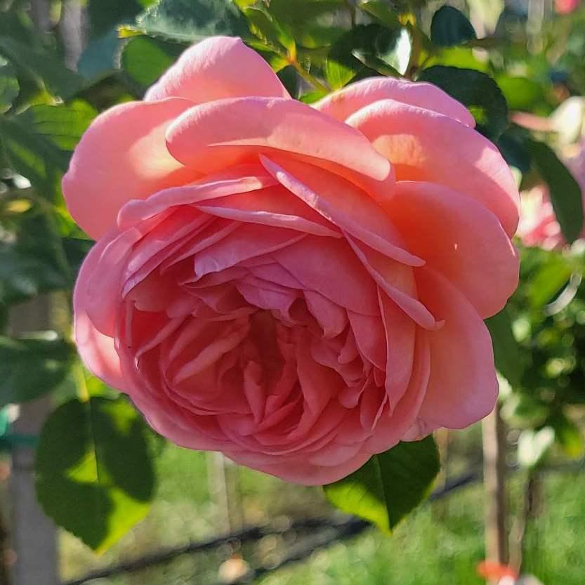 """Троянда штамбова """"Abraham Darby"""" с7"""