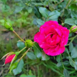 """Троянда """"Малинова"""" с7"""