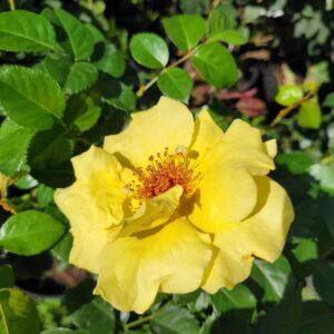"""Троянда """"Gold Stern"""" с7"""