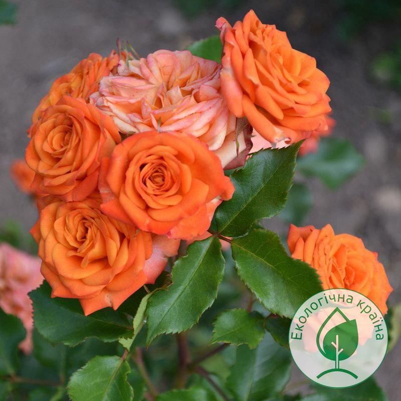 """Троянда штамбова """"Orange Baby"""" с7"""