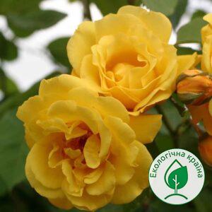 """Троянда штамбова """"Золоті ворота"""" с7"""