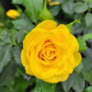 "Троянда ""Yellow Doll"" ВКС"