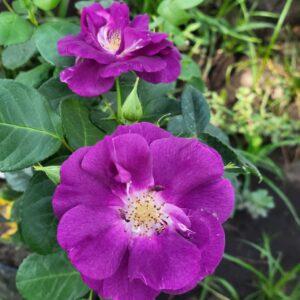 """Троянда """"Rhapsody in Blue"""" с7"""