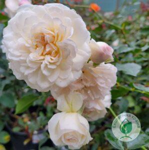 "Троянда ""Manuel Canovas"" с7"