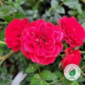 "Троянда ""Red Makarena"" с7"
