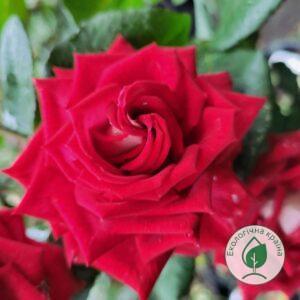 "Троянда ""Nicole"" с7"