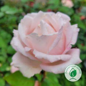"""Троянда """"La Perla"""" с7"""