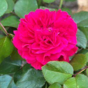 """Троянда """"Scarlet"""" с7"""