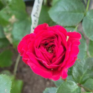 "Троянда ""Scarlet"" ВКС"