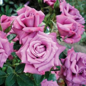 "Троянда ""Lavender Meillandina"" с7"