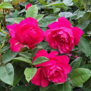 "Троянда ""Venskaya"" с7"