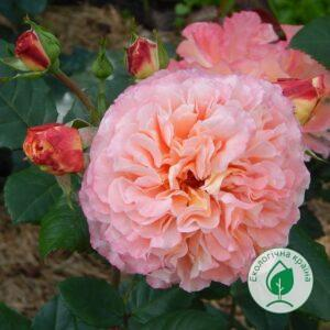 "Троянда ""Augusta Luise"" ВКС"