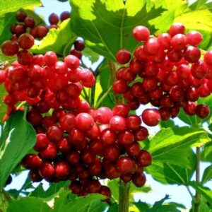 Калина садова червона, с 7,5