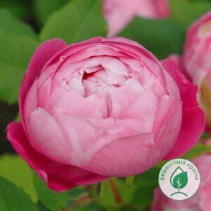 """Троянда """"La Reine Victoria"""" ВКС"""