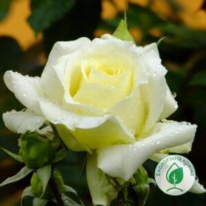 """Троянда """"Elfe"""" ВКС"""