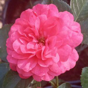"Троянда ""Now Pink"" с7"