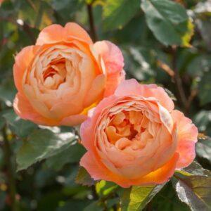 "Троянда ""Lady Emma Hamilton"" с7"