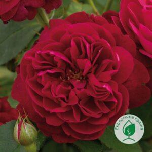 """Троянда """"Darcey Bussell"""" ВКС"""