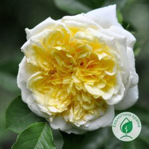 "Троянда ""Pilgrim"" ВКС"