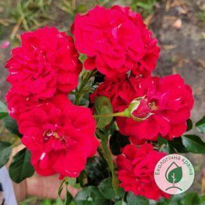 Троянда Рожево-малинова. С7