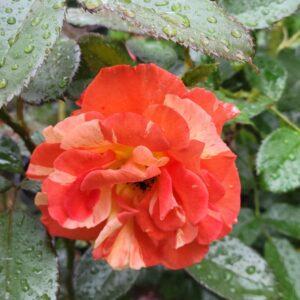 """Троянда """"Tocade"""" с7"""
