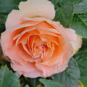"Троянда ""Peach Quinn"" с7"